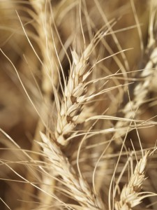 232822-close-up-of-wheat